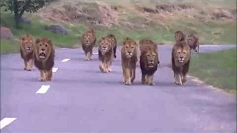 Super manada o coalición de leones-1