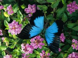 File:Ulises Butterfly.jpg