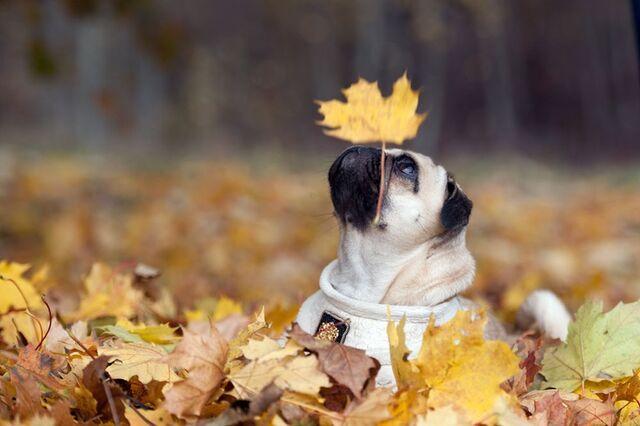 File:Fall pug.jpg