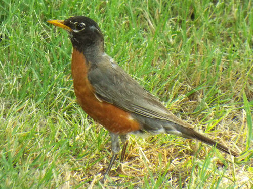 File:American Robin, June 24,2016.jpg