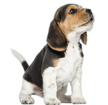 Beagle-puppy-howling-looking-up-1874515381