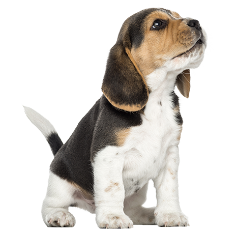 File:Beagle-puppy-howling-looking-up-1874515381.png