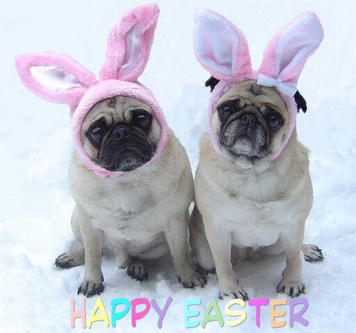 File:Cute-Pug-Easter-Bunnies-pugs-33876422-709-664.jpg