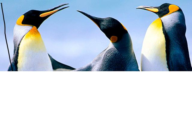 File:Pinguinos.png