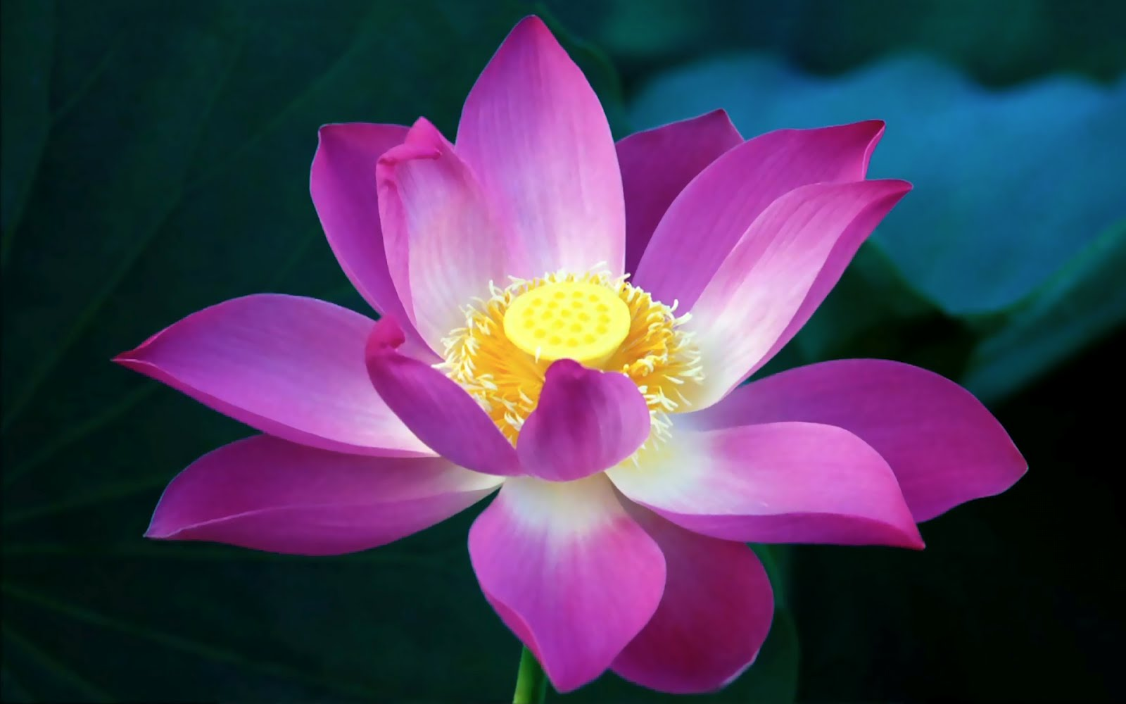 Amazing Water Lily flower beautiful (15).jpg
