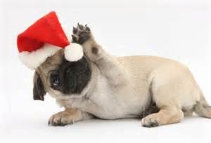 File:Christmas pug.jpg