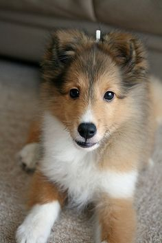 File:Sheltie pup .3..jpg