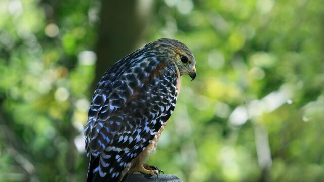 File:6968498-bird-hawk-focus-1366x768.jpg