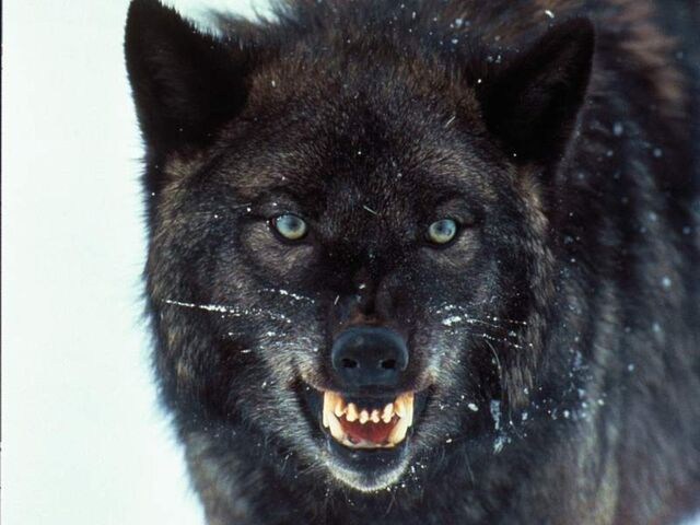 File:Wolves 005.jpg