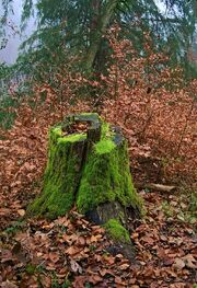 1024px-Felsenegg-Kante Tree Stump Autumn