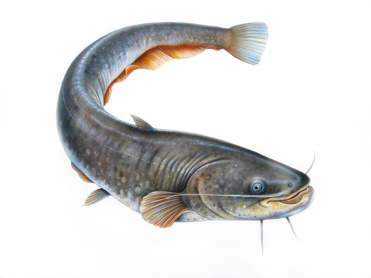 Koleksi Baru 29 Erek Erek Gambar Ikan Lele