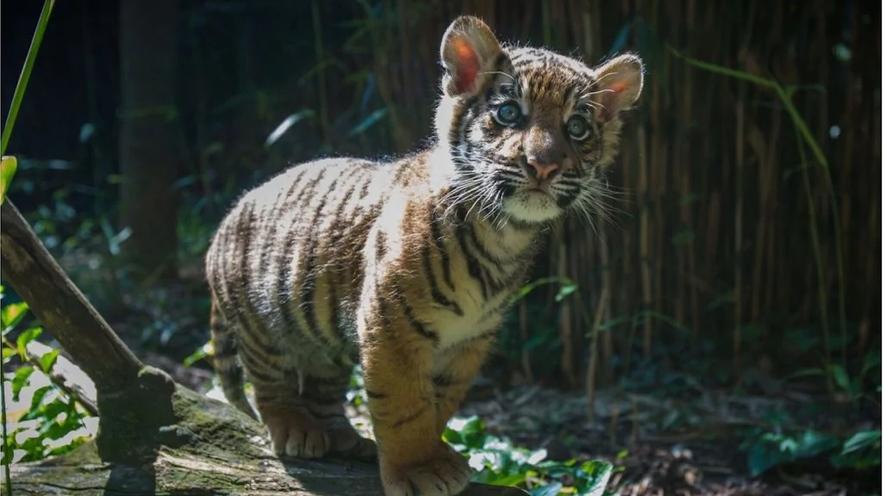 -baby-tiger-00187d14