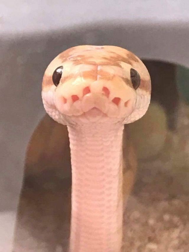 image 6f10f618b21ac4ceae614259ce789065 ball python terrarium cute