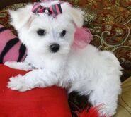 1350909976 448905887 1-Pictures-of--Teacup-Maltese-Puppies-Available