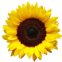 Aesthetic-Sunflower-Transparent-Images