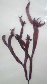 Gloiopeltis furcata