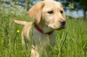 Digger-the-Puppy-©-Rdf-Media-Group-300x198