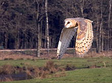File:220px-Flying owl.jpg