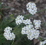 Yarrow root