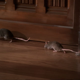 The rats running around in the Manor.