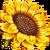 Picked Sunflower