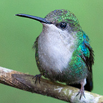 File:Violetcrownedwoodnymph.png