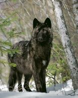 Black wolf12