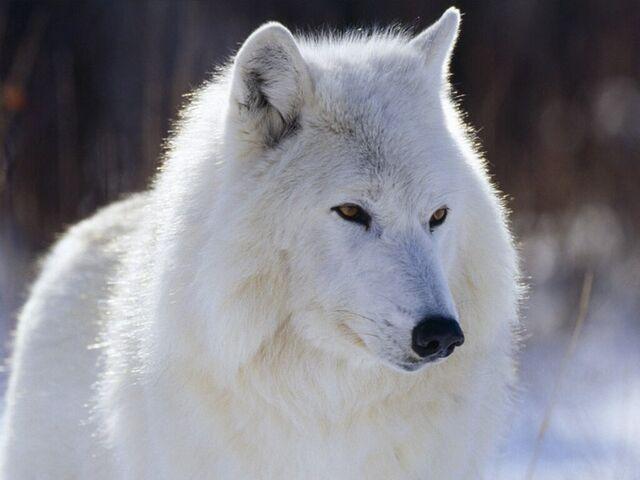 File:White-Wolf-wolves-4964030-800-600.jpg