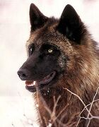 1136193571brownwolf