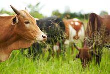 Cows in Chawosauria