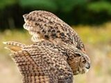 Eurasian Eagle Owl Day