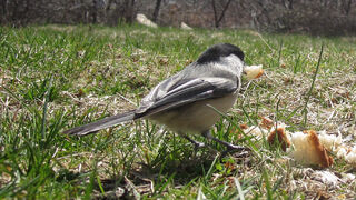 Chickadee Motion Detected Bird