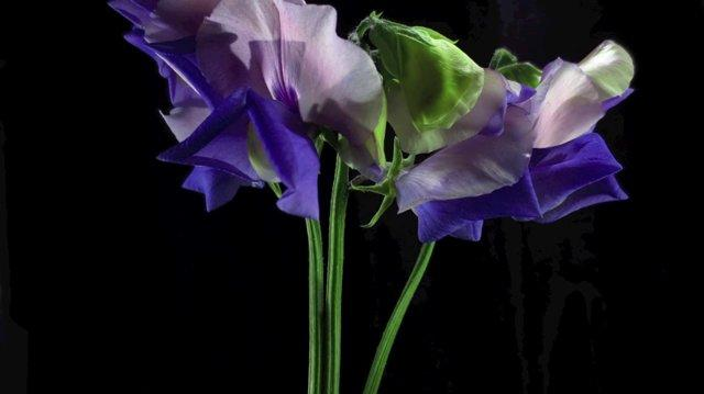 SWEET PEA TIME LAPSE