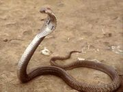 Indian-cobra
