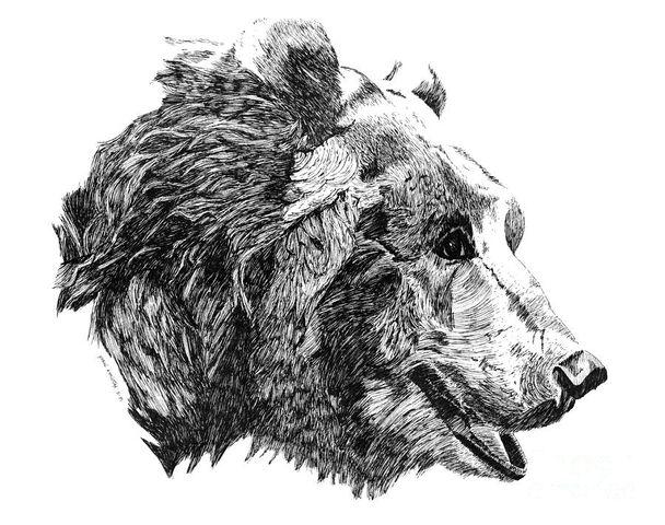 File:Grizzly-old-bear-paul-kmiotek.jpg