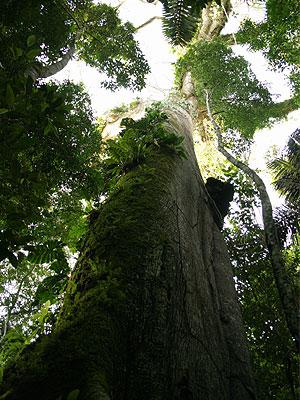 Lupuna tree