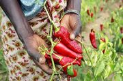 Paprika pepper farmer in Tanzania (5761933485)