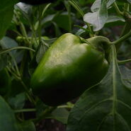 Piiman green pepper-garden