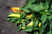 Ripe Banana Pepper Plant