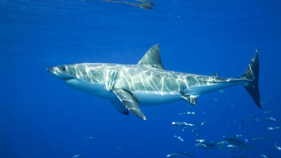 Great white shark | Chondrichthyes Wiki | FANDOM powered ...