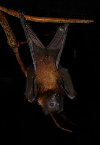 File:Flying fox.jpg