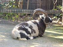 Jacob sheep