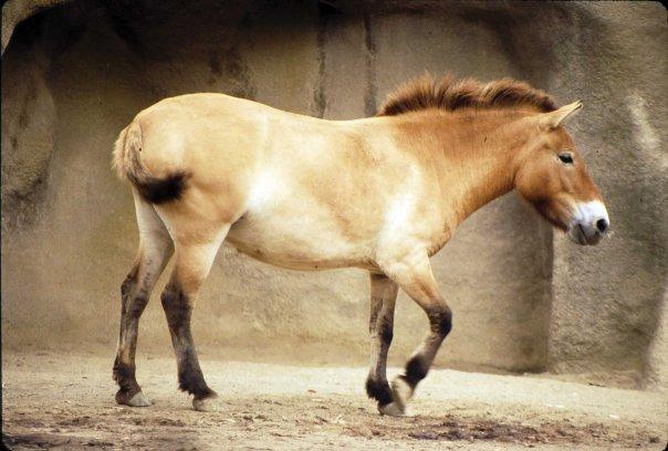 File:Prze horse.jpg
