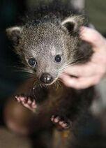 Baby bearcat