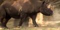 Black Rhinoceros.png