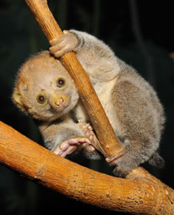 File:Potto.jpg