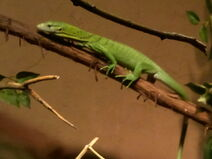 Green tree mintor