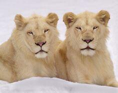 White lion3