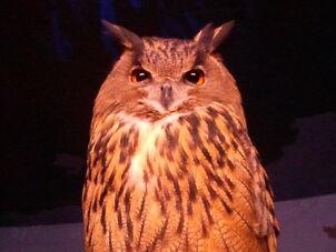 Eurasian eagle owl-2