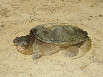 Snapping turtle3